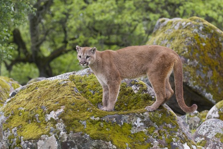 puma cat: Mountain Lion on moss covered rocks