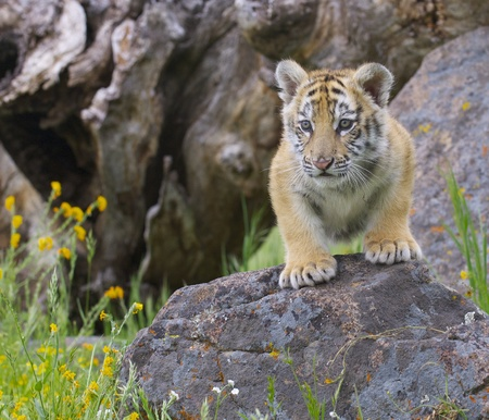 Tiger cub gray rocks with yellow flowers Stock Photo