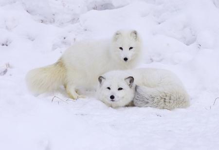 Arctic Foxes in deep snow Stock Photo