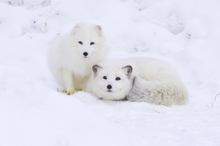 white winter: Arctic Foxes in deep snow Stock Photo