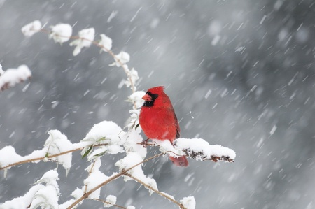 Male Northern Cardinal on branch with snow Stock Photo