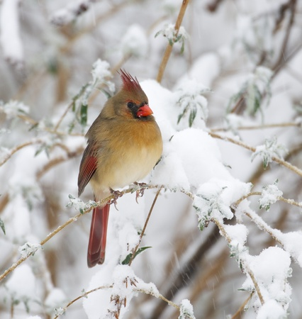 cardinal bird: Female Northern Cardinal on branch with snow