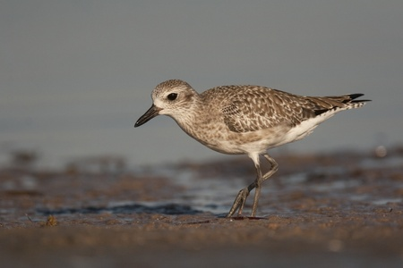 Semipalmated Sandpiper in shallow water  Stock Photo