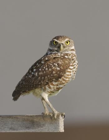 Burrowing Owl on stick with gray sky background