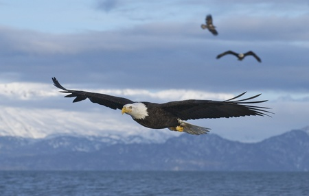 flying eagle: Three American Bald Eagles in flight with wings spread wide with blue sky background