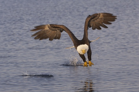 American Bald Eagle in flight with wings spread wide catching fish in ocean photo