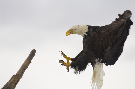 American Bald Eagle in flight with wings spread wide landing on stick photo