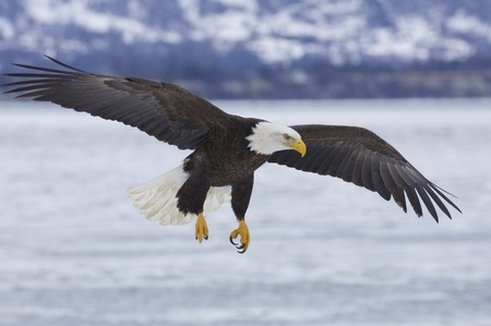 eagle flying: Alaskan Bald Eagle flying over icy water