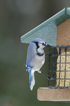 bluejay: Bluejay on bird feeder with wire cage