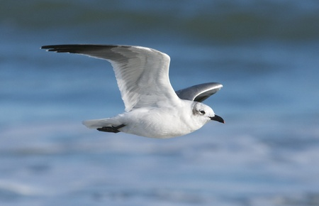 larus: Laughing Gull, Larus atricilla, flying over blue water
