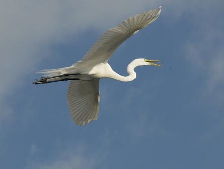 Great Egret, Ardea alba, in flight from underside of wings with open beak and blue sky background photo