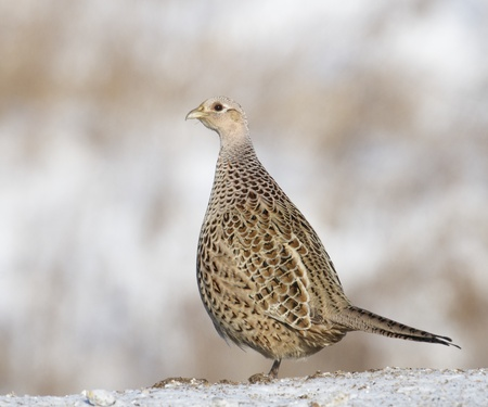 tailings: Wild female Common Ring-neck Pheasant, Phasianus colchicus, on pile of wheat tailings Stock Photo