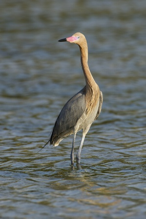 красноватый: Reddish Egret, Egretta rufescens, with breeding colors standing in gray or blue water Фото со стока