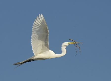 egret: Great Egret, Ardea alba, in flight with stick for nest from underside of wings with blue sky background