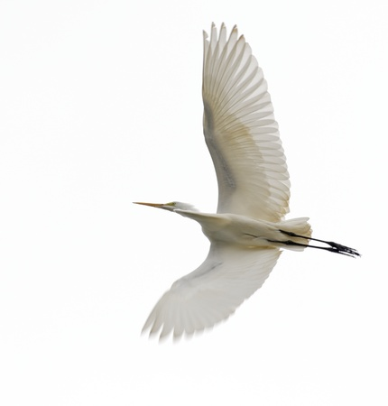 Great Egret, Ardea alba, in flight from underside of wings with white or gray sky background photo