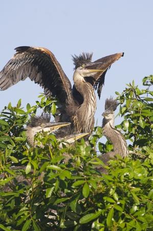 herodias: Great Blue Heron, Ardea herodias, parent with baby or juvenile teaching to fly