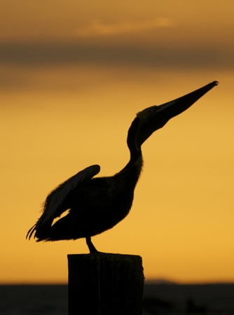 piling: Brown Pelican, Pelecanus occidentalis, sitting on wooden piling at sunset or sunrise stretching neck