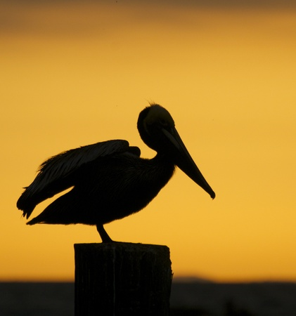 piling: Brown Pelican, Pelecanus occidentalis, sitting on wooden piling at sunset or sunrise stretching wings Stock Photo