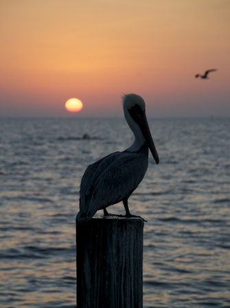 piling: Brown Pelican, Pelecanus occidentalis, sitting on wooden piling at sunset or sunrise