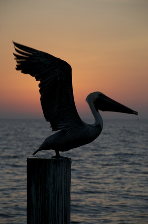 piling: Brown Pelican, Pelecanus occidentalis, sitting on wooden piling at sunset or sunrise with wings outstretched Stock Photo