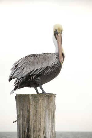 piling: Brown Pelican, Pelecanus occidentalis, sitting on wooden piling with  blue sky background
