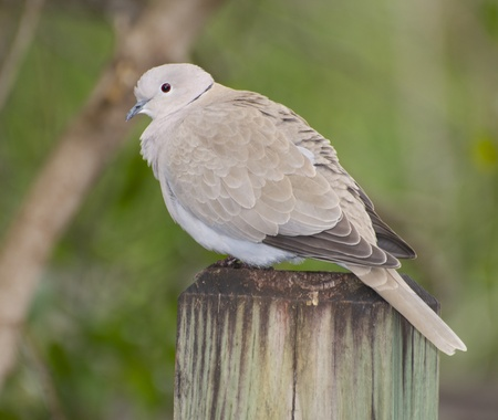 piling: Mourning Dove, Zenaida macroura, wooding pier or piling with green grass background