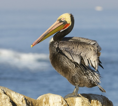 Endangered California Brown Pelican, Pelecanus occidentalis, on cliff rocks with wings stretched, stretched