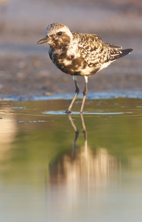 pluvialis: Black-bellied Plover, Pluvialis squatorola, on dark gray to brown beach sand and water with reflection Stock Photo