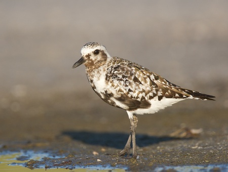 pluvialis: Black-bellied Plover, Pluvialis squatorola, on dark gray to brown beach sand