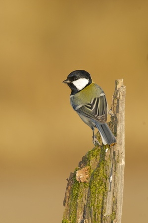 Great Tit, Parus major, on the side of a log with green lichen