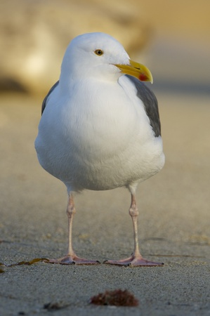 Western Gull, Larus occidentalis, on tan sand beach with head turned to side Stock Photo