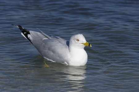 Ring-billed Gull, Larus delawarensis argentatus, standing in shallow water with blue water and sky background