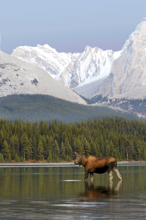 Female Moose in lake drinking water with Rocky Mountains in the background
