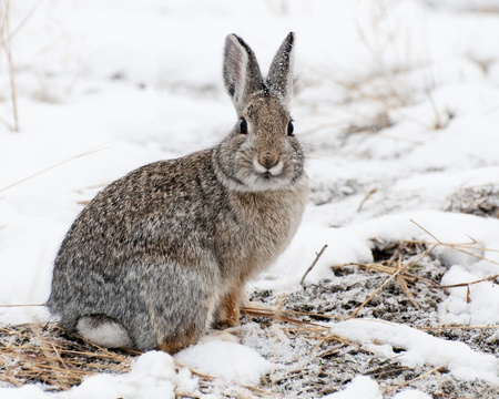Mountain Cottontail in snow at Yellowstone National Park Stock Photo
