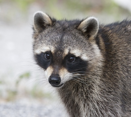 Raccoon portrait with green grass background Stock Photo