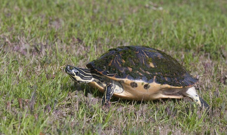 cooter: Cooter Turtle walking on green grass with neck extended and legs extended