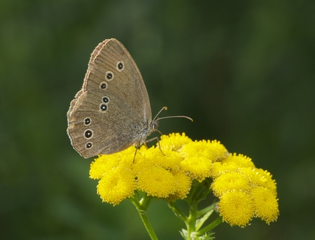yellow: Spotted Brown Butterfly on bright yellow flowers in garden