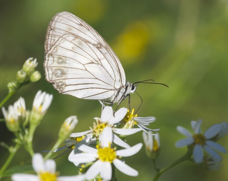 with white: White Skipper Butterfly on yellow and white flowers in garden Stock Photo
