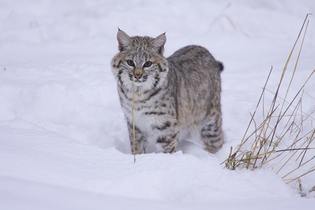 Bobcat in deep white snow facing viewer with grass on side Stock Photo