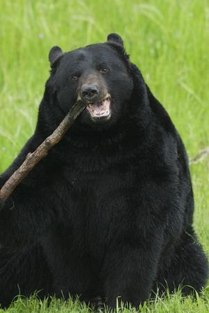 black bear: Orso nero da masticare su un bastone o un ramo Archivio Fotografico