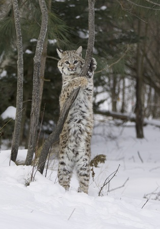 Bobcat in deep white snow standing upright holding on branch