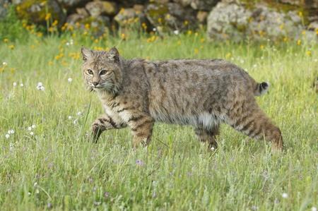 bobcat: Bobcat en hierba verde profundo con flores amarillas y blancas