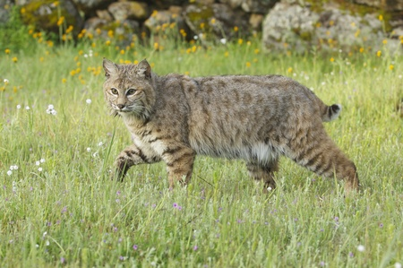 Bobcat in deep green grass with yellow and white flowers