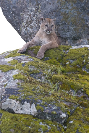 Mountain Lion on moss covered rocks during spring time photo