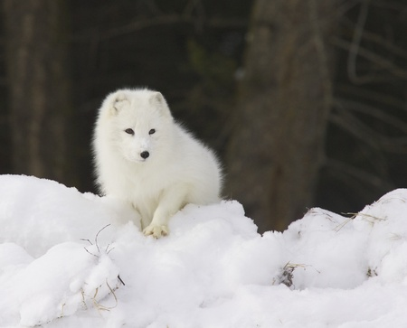 Arctic Fox in deep white snow viewed from the front