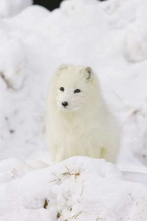 viewed: Arctic Fox in deep white snow viewed from the front