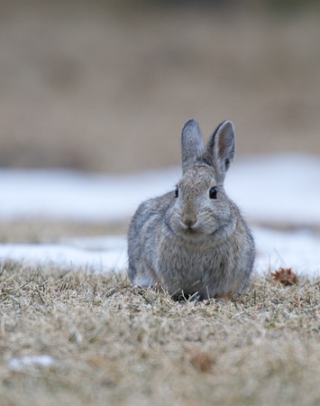 Mountain Cottontail on brown grass with white snow from the front