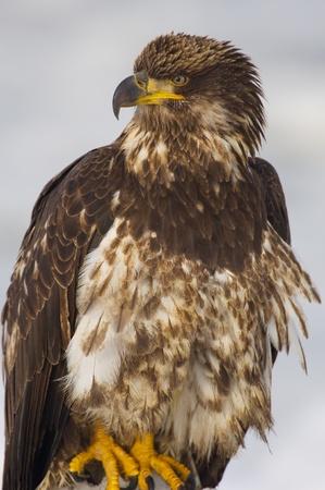 Young Alaskan Bald Eagle, Haliaeetus leucocephalus, on log on beach withe blue water background Stock Photo