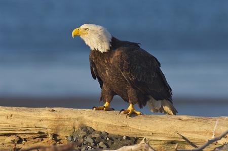 haliaeetus leucocephalus: Alaskan Bald Eagle, Haliaeetus leucocephalus, on log on beach with blue water background