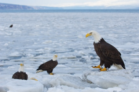 Alaskan Bald Eagle, Haliaeetus leucocephalus, standing on ice with icy ocean water in background photo